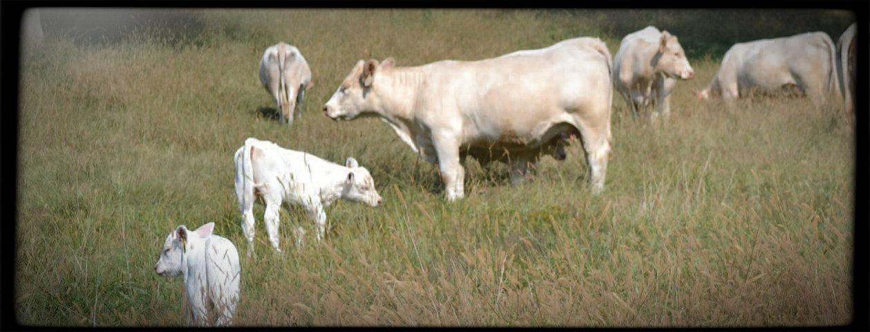 Oak Hill Farm Charolais cows 2